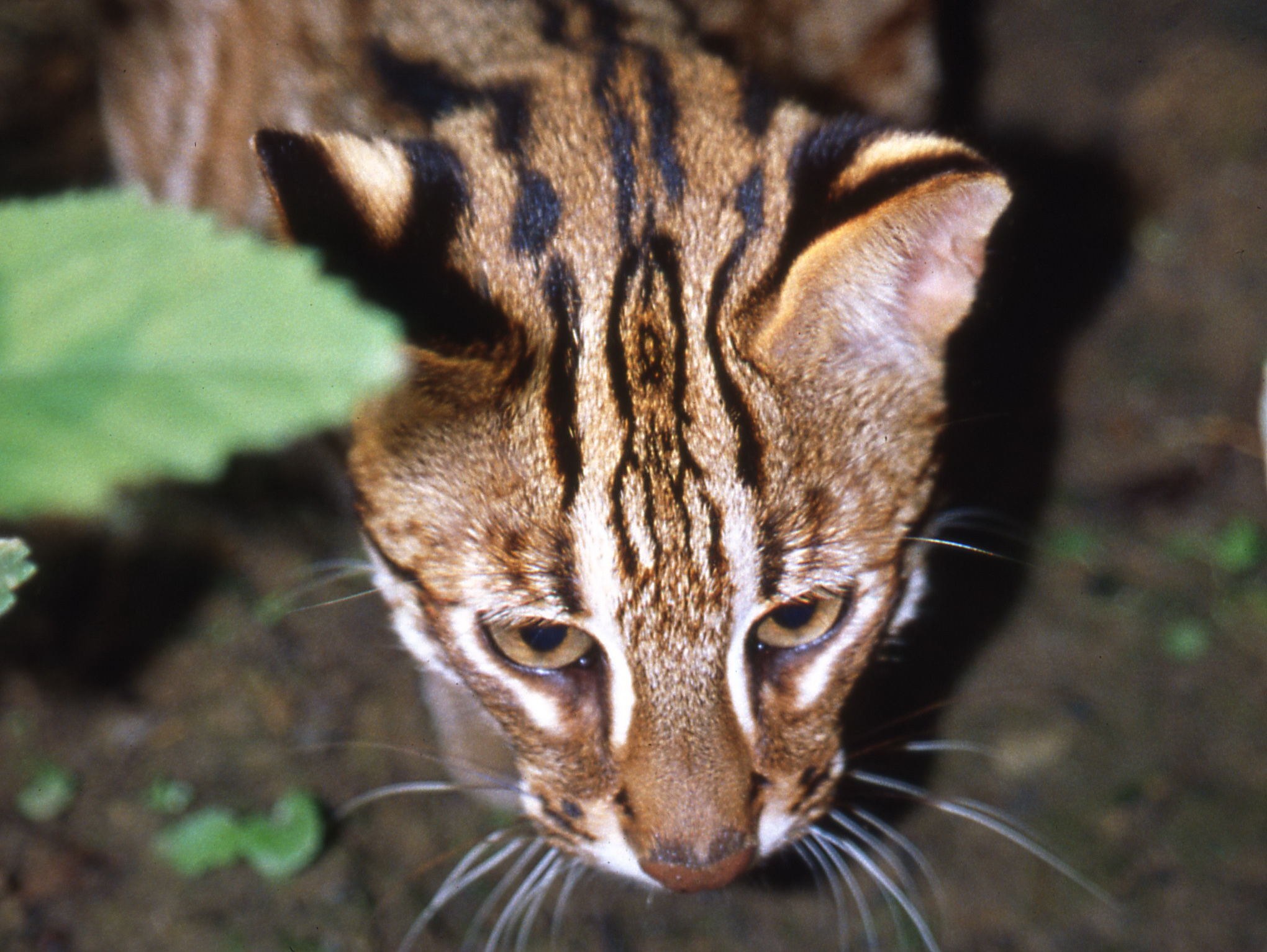 A front photo of leopard cats