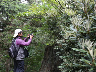 Visitors stopped to take photos of the blooming Rhododendron kawakamii Hayata.