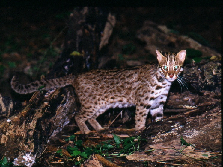 A full-body photo of leopard cats