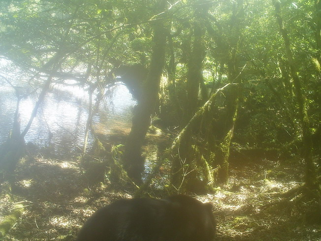 The researchers saw a Formosan black bear appearing in the Daguei Lake Wetland through the infrared automatic monitoring camera.