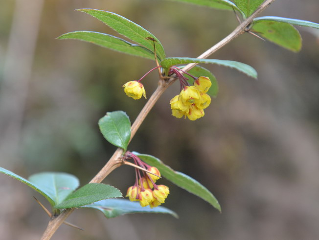 """Several new distribution records of Berberis plants were discovered by the research team. The plant in the photo is """"Berberis longifolia."""""""